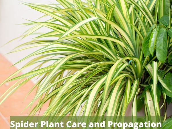 Spider Plant Care and Propagation Guide