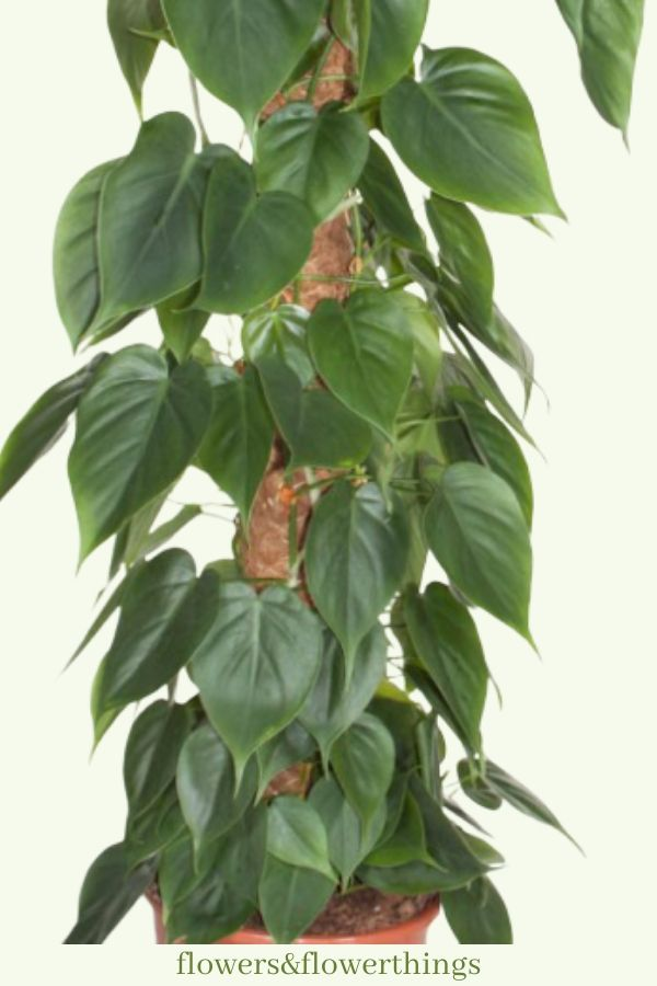 fast growing Philodendrons