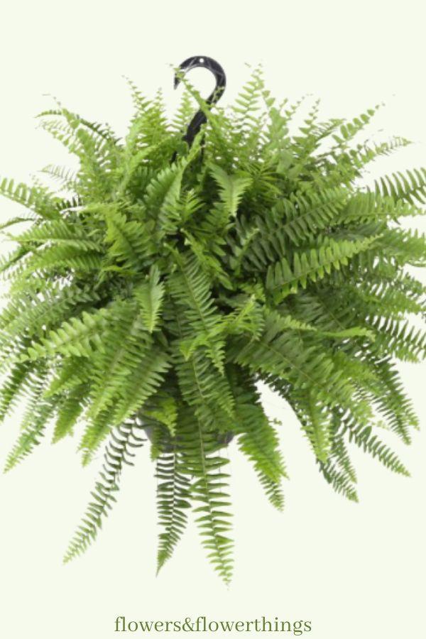 fast growing fern houseplants