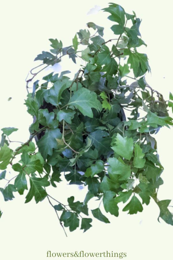 fast growing grape ivy