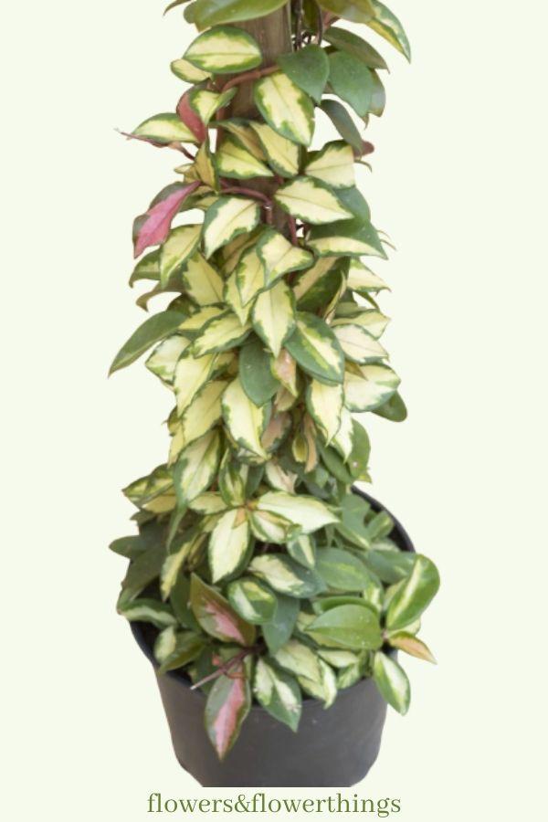 fast growing hoya plants