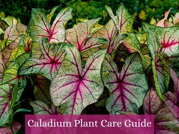 Caladium Plant Care Guide