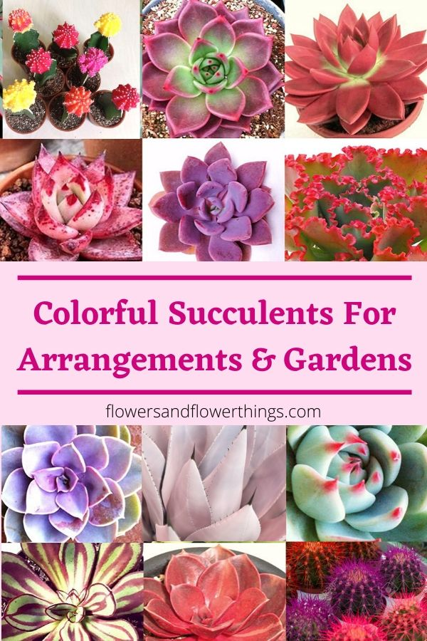 Colorful succulents for arrangements and gardens