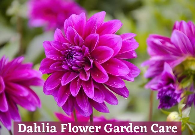 Dahlia Flower Garden Growing Care