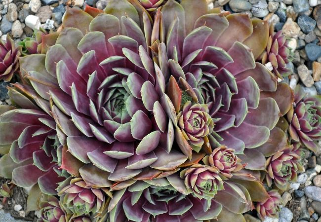 Hens and chicks sempervivum care and propagation