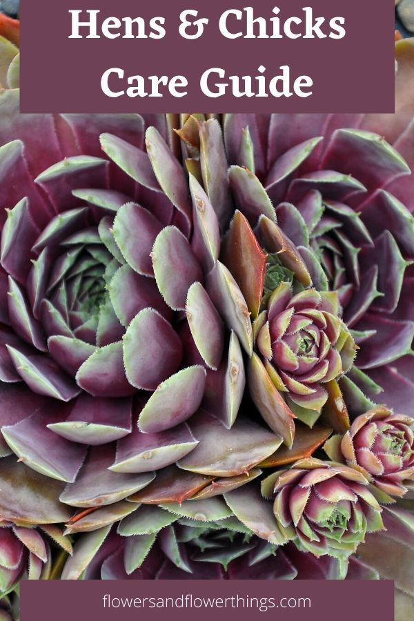 Hens and chicks sempervivums care and propagation
