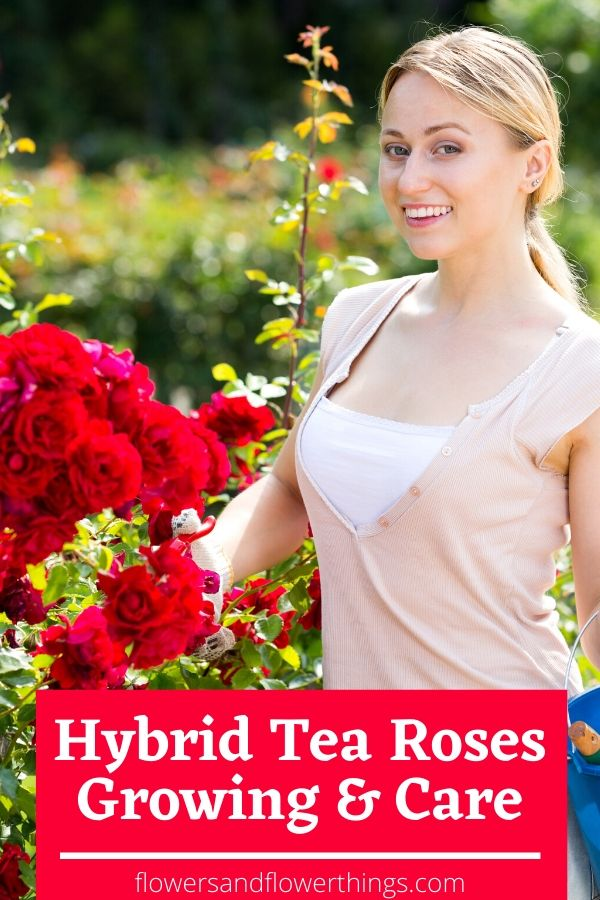 Hybrid tea roses growing and care guide