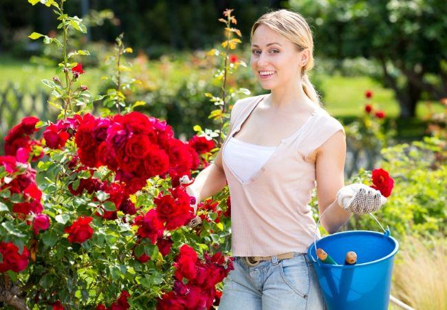 Hybrid tea roses growing care