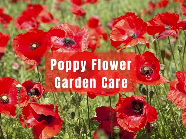 Poppy Flower Garden Care