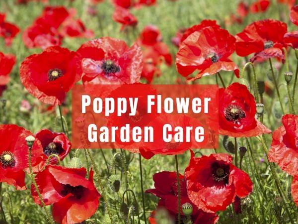 Poppy Flower Garden Care guide