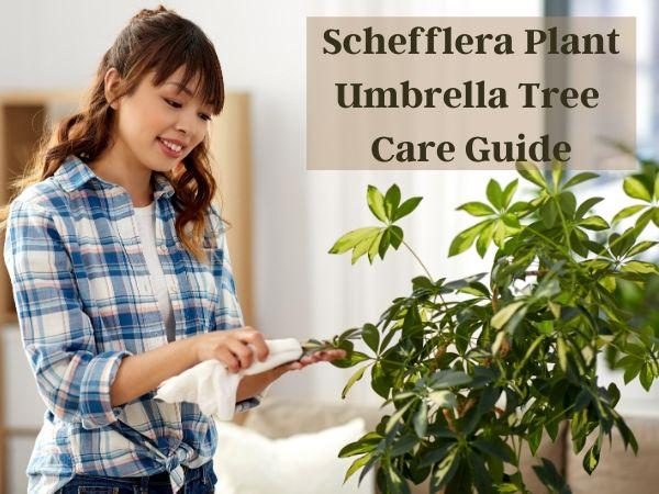 Schefflera Plant Umbrella Tree Care Guide