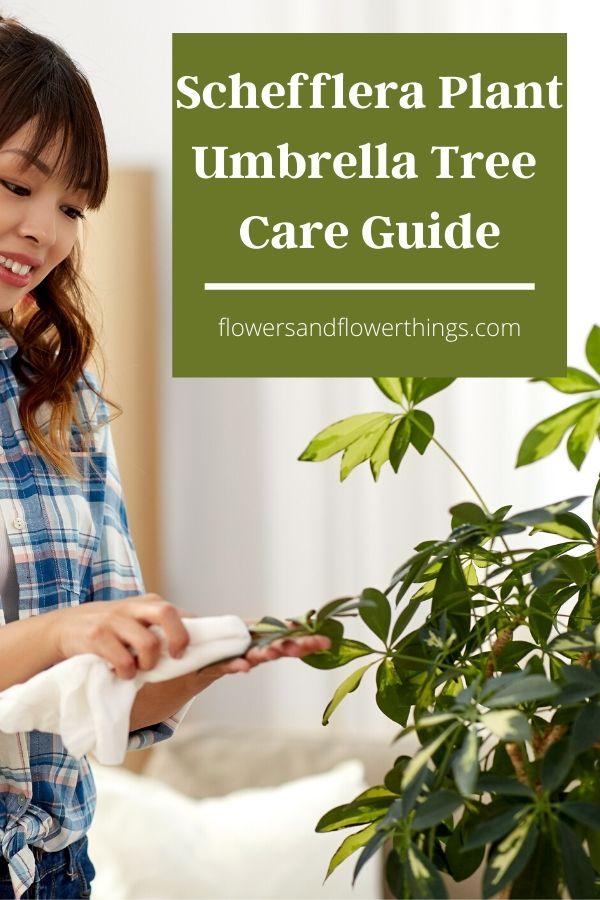 Schefflera Plant Umbrella Tree Complete Care Guide
