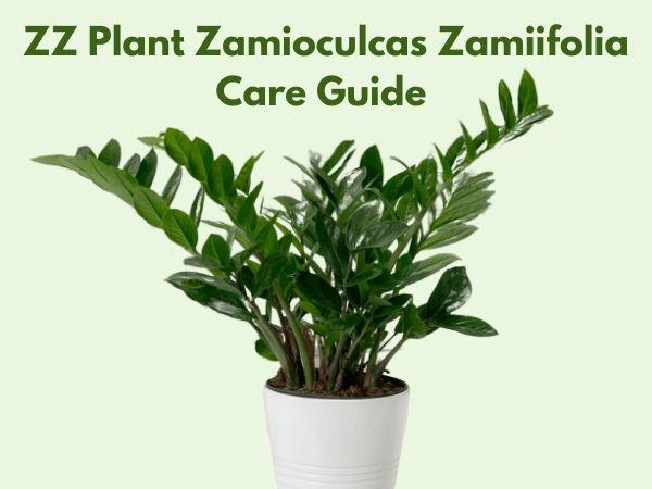 ZZ Plant Zamioculcas Zamiifolia Care Guide