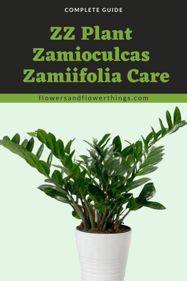 zz plant zamioculcas zamiifolia Care complete Guide