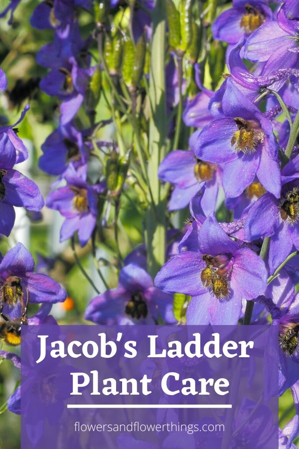 Jacob's Ladder Plant Care and propagation