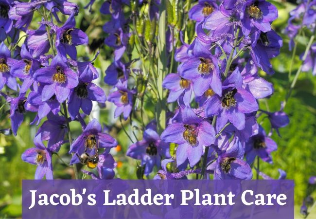 Jacob's Ladder Plant Care