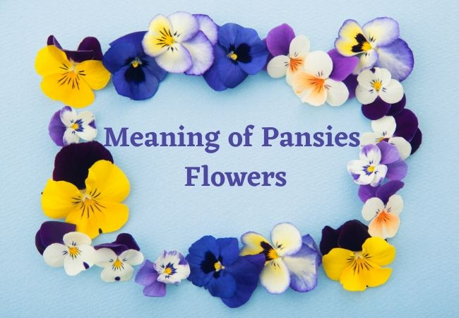 Meaning of Pansies Flowers Symbolism