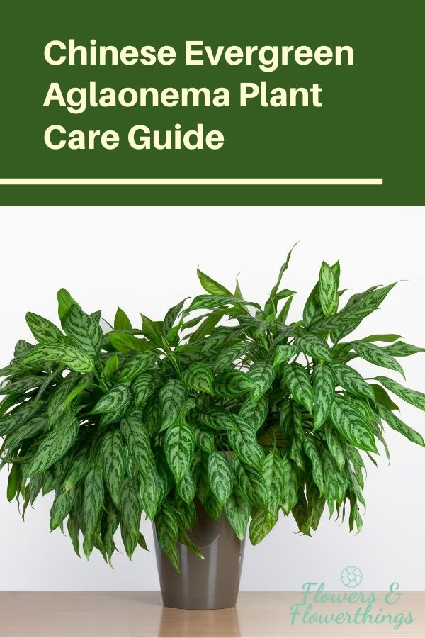 Chinese Evergreen aglaonema plant care guide
