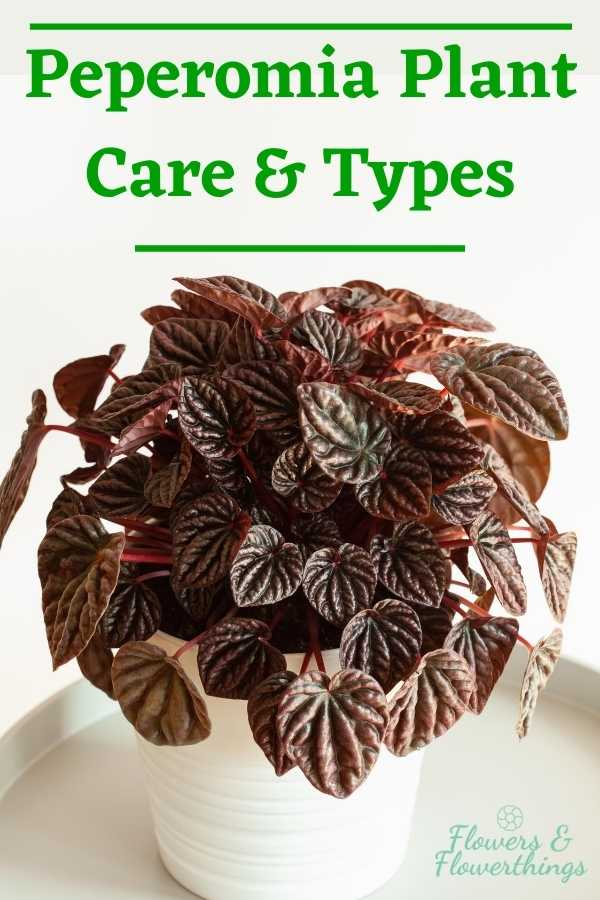Peperomia Plant Care Guide and Types
