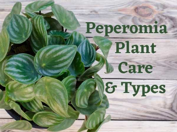 Peperomia Plant Care and Types