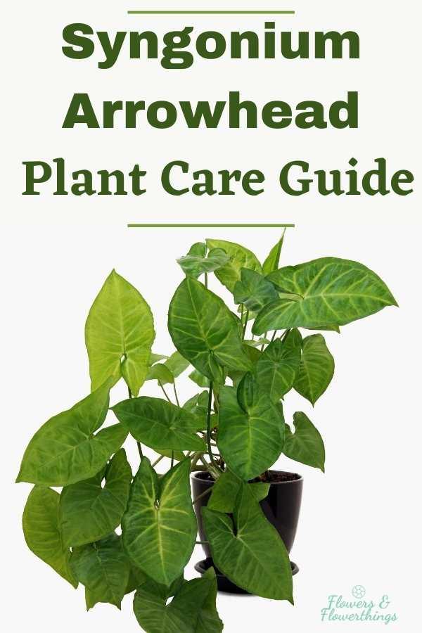 Syngonium Arrowhead Plant Care Guide