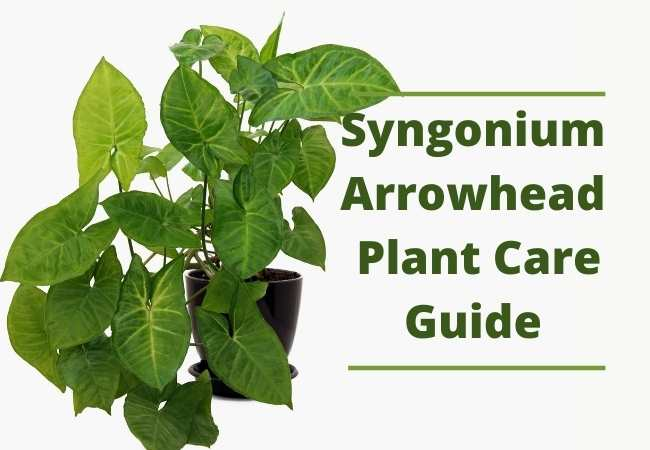 Syngonium Arrowhead Plant Care