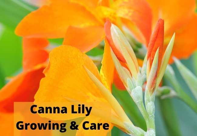 Canna Lily Growing and Care