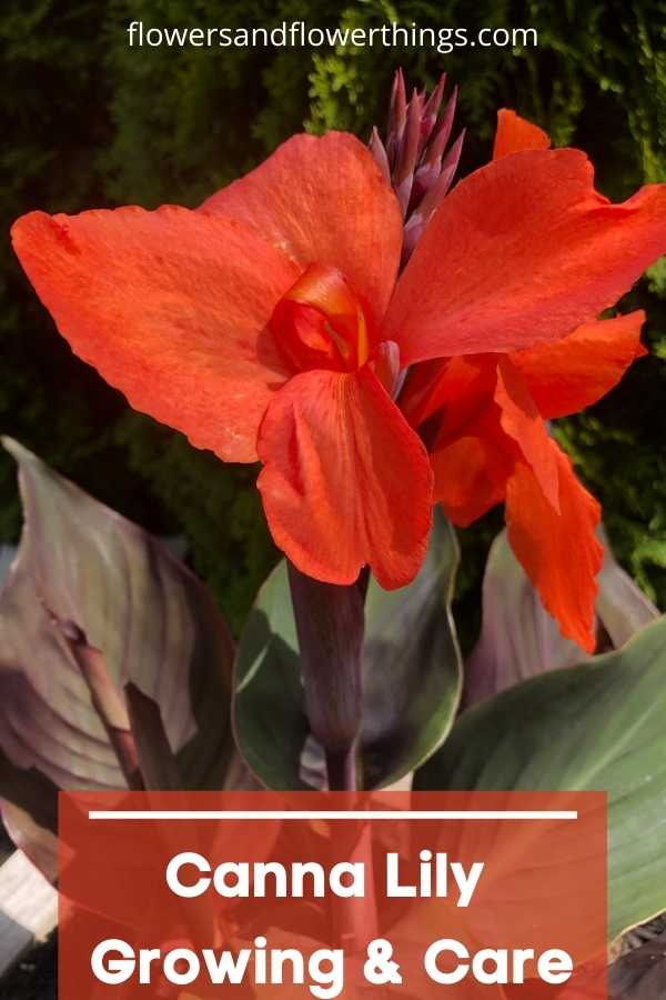 Canna Lily container Growing and care tips