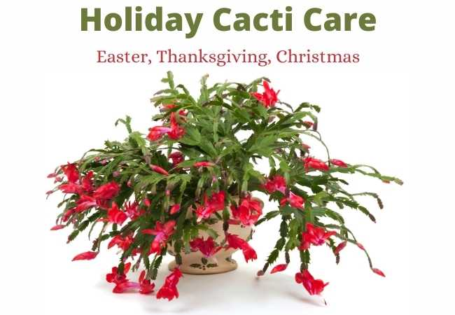 Holiday Cactus Easter Thanksgiving and Christmas Care guide