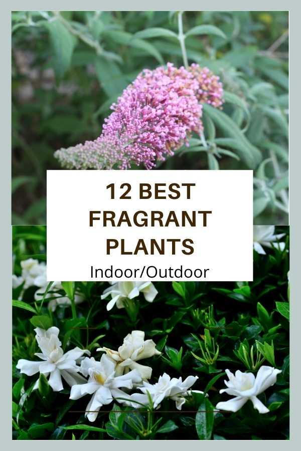 best Fragrant plants indoor and outdoor gardens