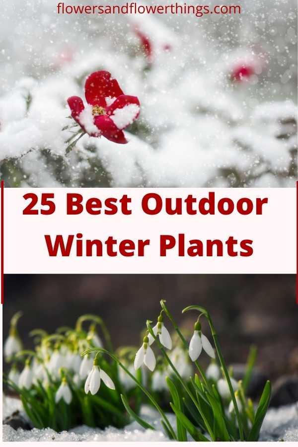 best outdoor winter flowering plants