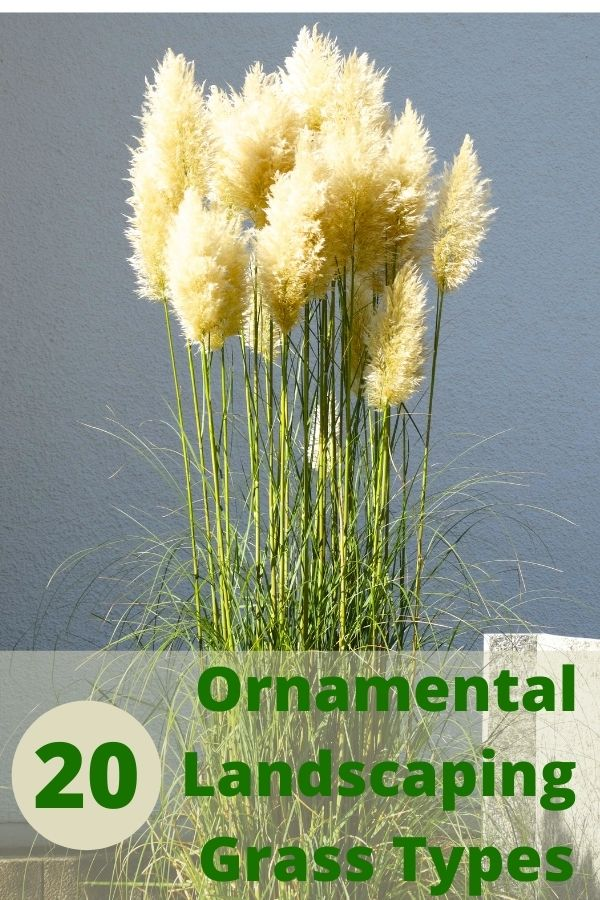 Ornamental Landscaping Grasses Types and varieties