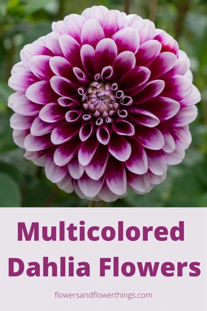 Multicolored Dahlia flowers