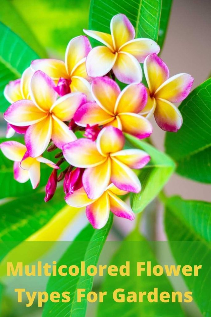 Multicolored Flowers for gardens and pots