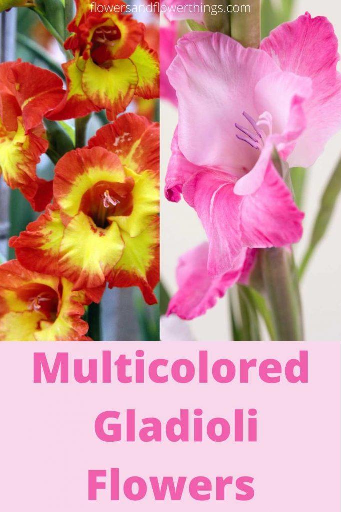 Multicolored gladioli flowers