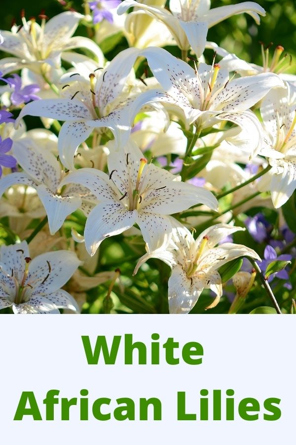 white African Lilies