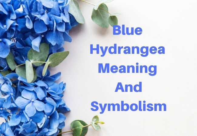 Blue Hydrangea Meaning and Symbolism